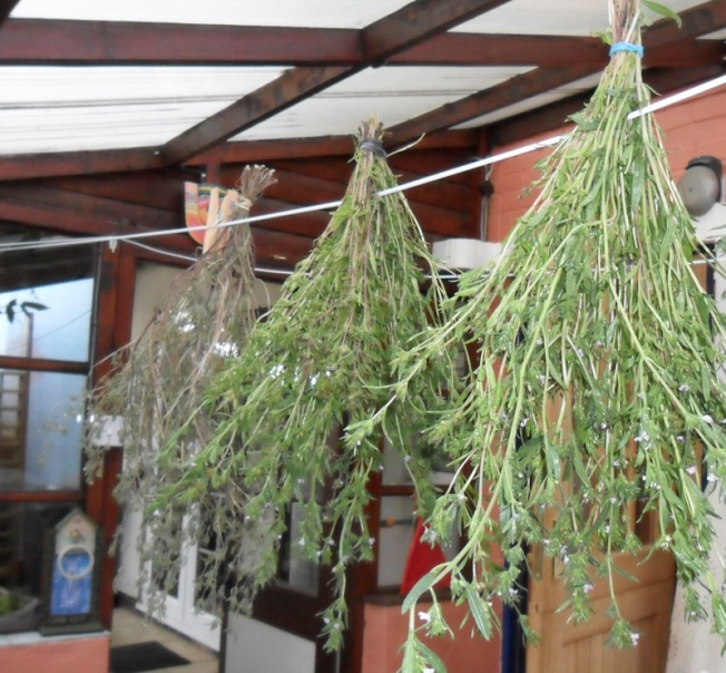 Summer Savoury - Drying and Dried