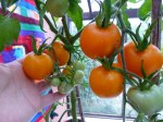 garden-Toms-Jens-tangerine